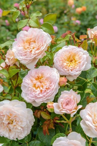 roses-with-a-history:-david-austin-english-roses-can-add-distinctive-looks-and-fragrances-to-your-garden