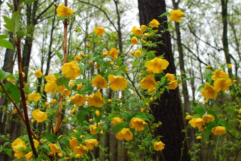 montgomery-column:-flowering-shrubs-can-wake-up-spring-gardens