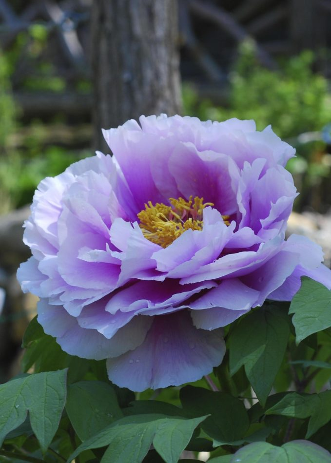 montgomery-column:-peonies-add-beauty-to-spring-gardens