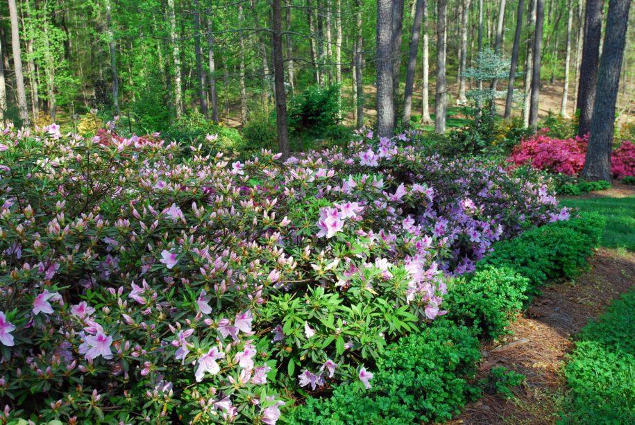 montgomery-column:-keeping-azaleas-beautiful,-blooming