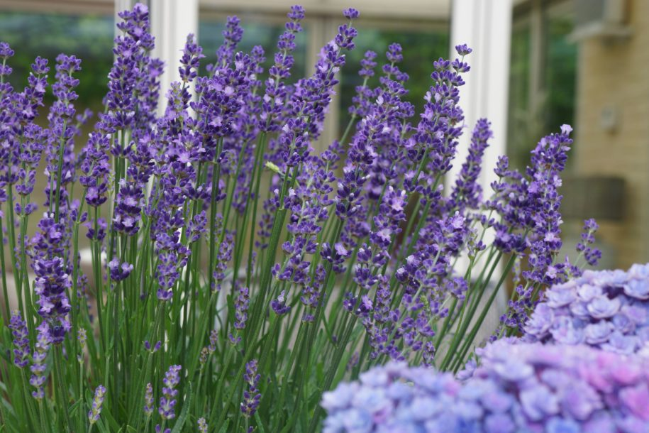lavender-–-the-loveliest-of-herbs